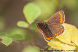 Brown ArgusAricia agestis agestis