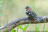 Common Chaffinch  (Vink)