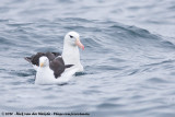 Black-Browed AlbatrossThalassarche melanophris