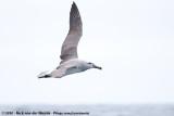 Salvin's AlbatrossThalassarche salvini