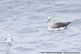 Buller's AlbatrossThalassarche bulleri ssp.