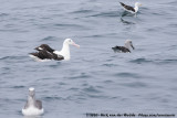 Northern Royal AlbatrossDiomedea sanfordi