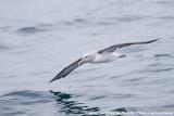 Albatrosses  (Albatrossen)