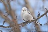 White-Headed Long-Tailed TitAegithalos caudatus caudatus