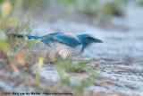 Florida Scrub JayAphelocoma coerulescens