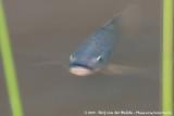 Blue TilapiaOreochromis aureus
