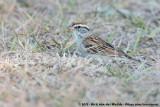 Chipping SparrowSpizella passerina passerina