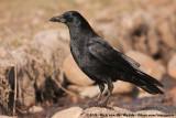 Carrion CrowCorvus corone orientalis