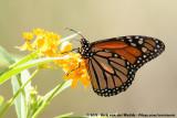 American MonarchDanaus plexippus megalippe