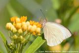 Great Southern WhiteAscia monuste monuste