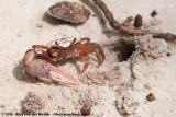 Atlantic Sand Fiddler CrabLeptuca pugilator