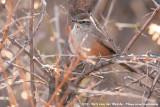 Dusky-Tailed CanasteroPseudasthenes humicola humicola
