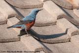 Blue Rock ThrushMonticola solitarius philippensis