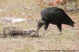 Black VultureCoragyps atratus
