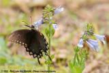 Spicebush SwallowtailPapilio troilus ilioneus