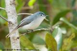 Blue-Grey GnatcatcherPolioptila caerulea caerulea