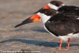 Black SkimmerRynchops niger niger