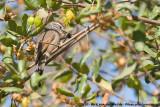 Plain-Mantled Tit-SpinetailLeptasthenura aegithaloides aegithaloides