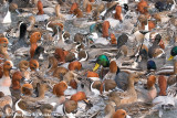 Duck Madness
