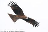 Black-Eared KiteMilvus migrans lineatus