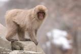 Japanese Macaque  (Japanse Makaak)