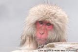 Japanese MacaqueMacaca fuscata fuscata