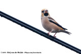HawfinchCoccothraustes coccothraustes japonicus