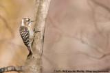 Japanese Pygmy WoodpeckerYungipicus kizuki nippon