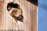 Japanese Giant Flying SquirrelPetaurista leucogenys nikkonis