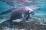 Florida ManateeTrichechus manatus latirostris
