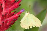 Cloudless SulphurPhoebis sennae sennae
