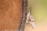 American SnoutLibytheana carinenta bachmanii
