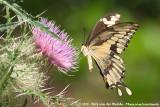 Giant SwallowtailPapilio cresphontes