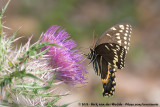 Palamedes SwallowtailPapilio palamedes palamedes