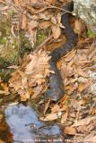 Southern Water SnakeNerodia fasciata pictiventris