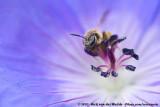 Sweat Bee Spec.  (Bandgroefbij onbekend)