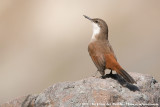 Ovenbirds (Ovenvogels)