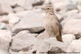 Rufous-Banded MinerGeositta rufipennis fasciata