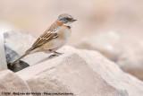 Rufous-Collared SparrowZonotrichia capensis australis