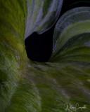 Inside a Hosta Leaf