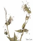 High Key Milkweed
