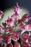These Buds were photographed at 3.5 Magnification. Their actual size is less than 1/16