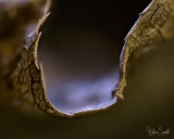 A 3 X Magnification of the Fold in a Leaf