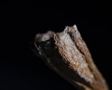 A 2 X Magnification of the end of a leaf stem
