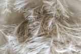 Feather Detail at 2 X Magnification 11 images stacked and rendered HeliconFocus