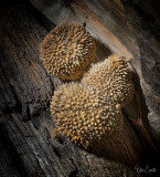 Seed Pods - Sycamore Tree