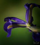 Underside of an Iris