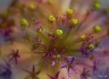 Allium_1.jpg