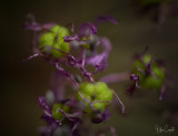 Allium_3.jpg