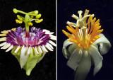 Passion-Flower-Double